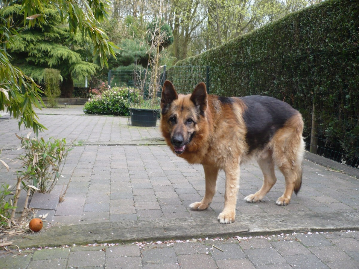 13 Common German Shepherd Health Problems