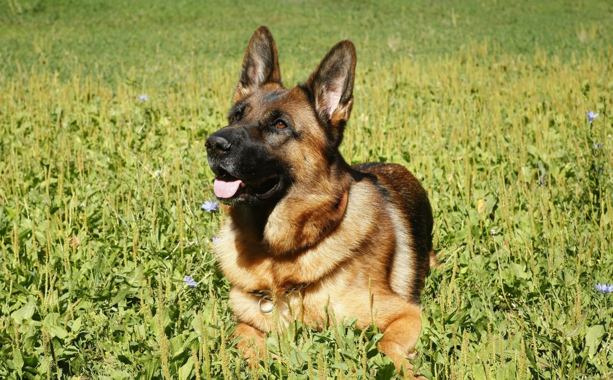The History of German Shepherd Dogs