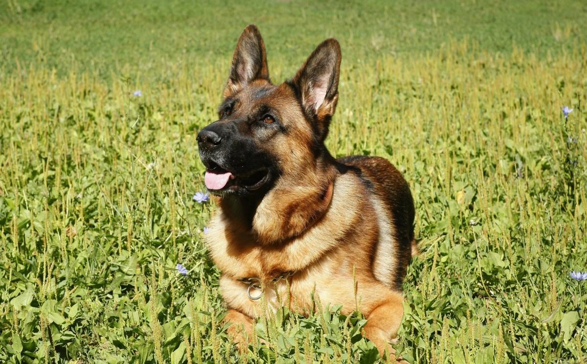 The Origin of German Shepherd Dogs