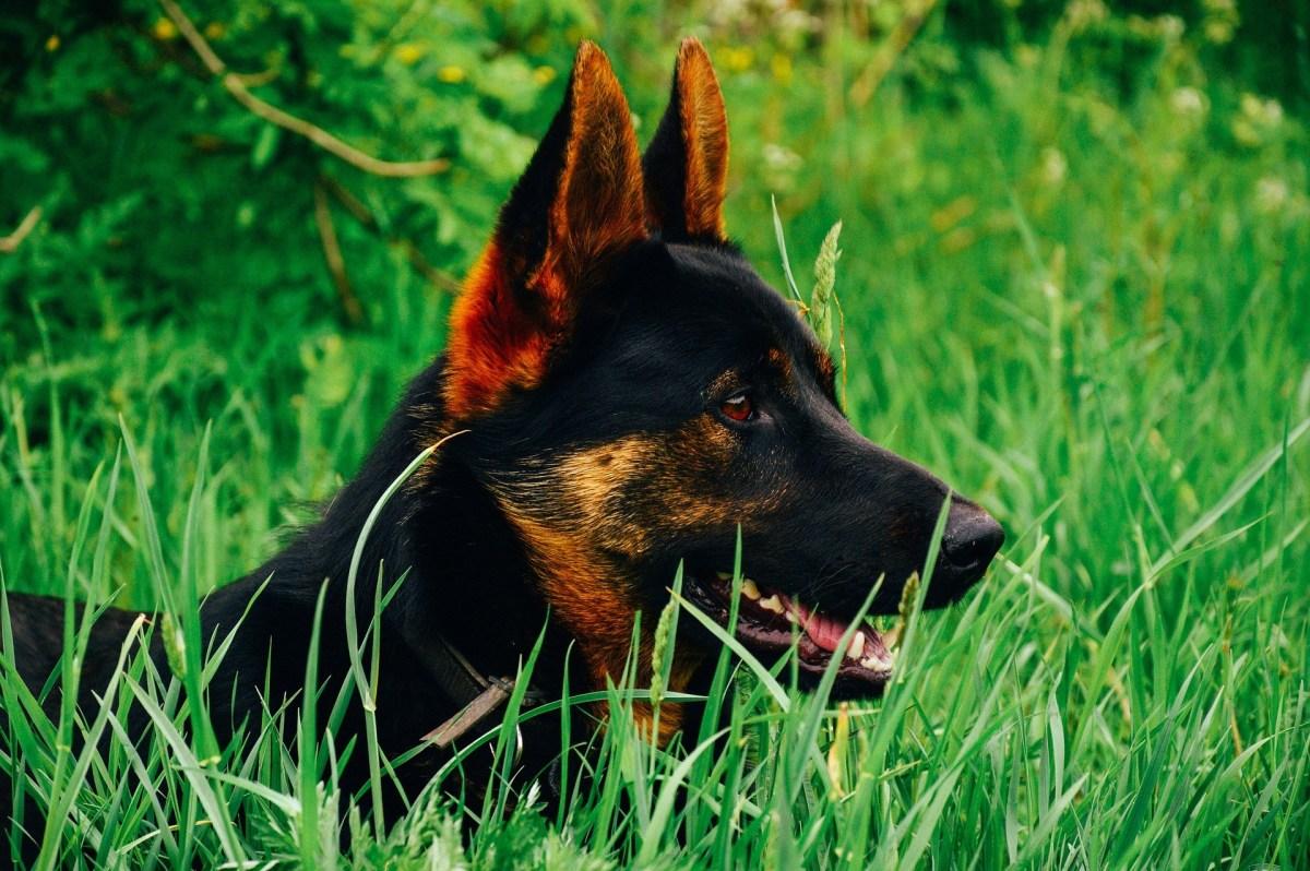 How to Housebreak a German Shepherd Puppy