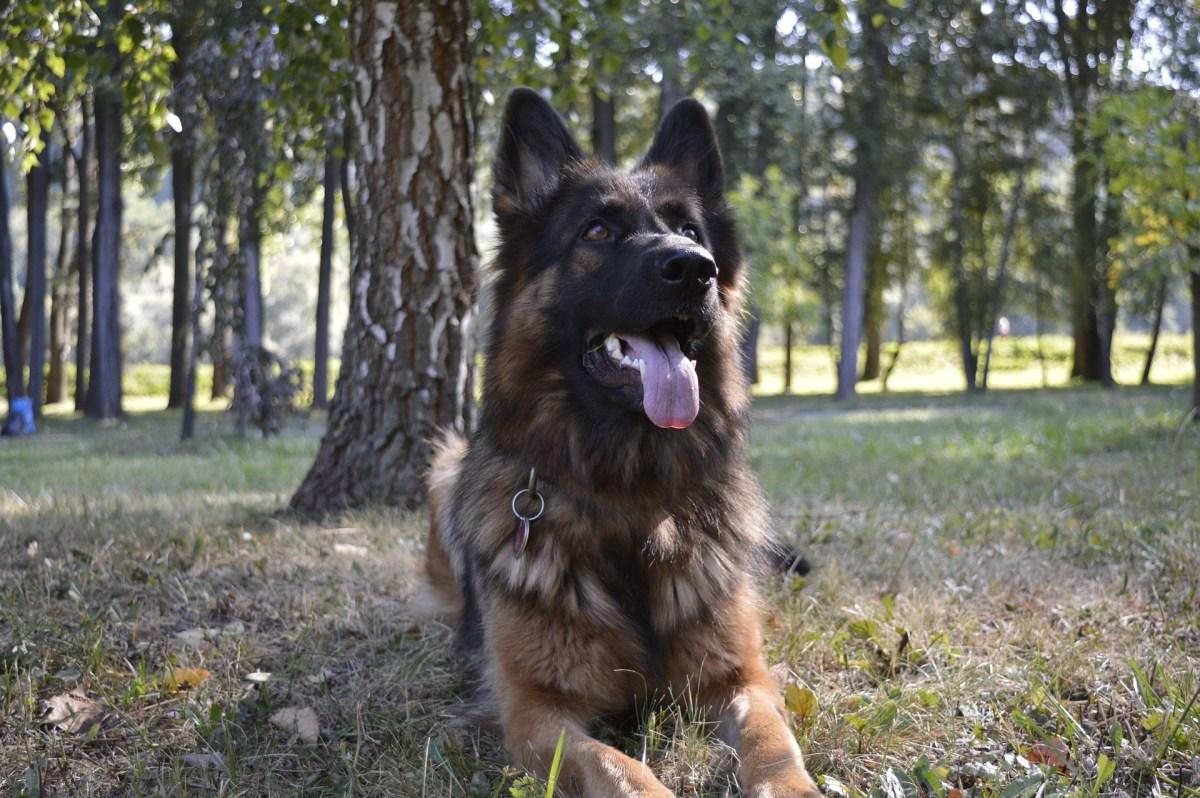 Long-Coat German Shepherd Dogs