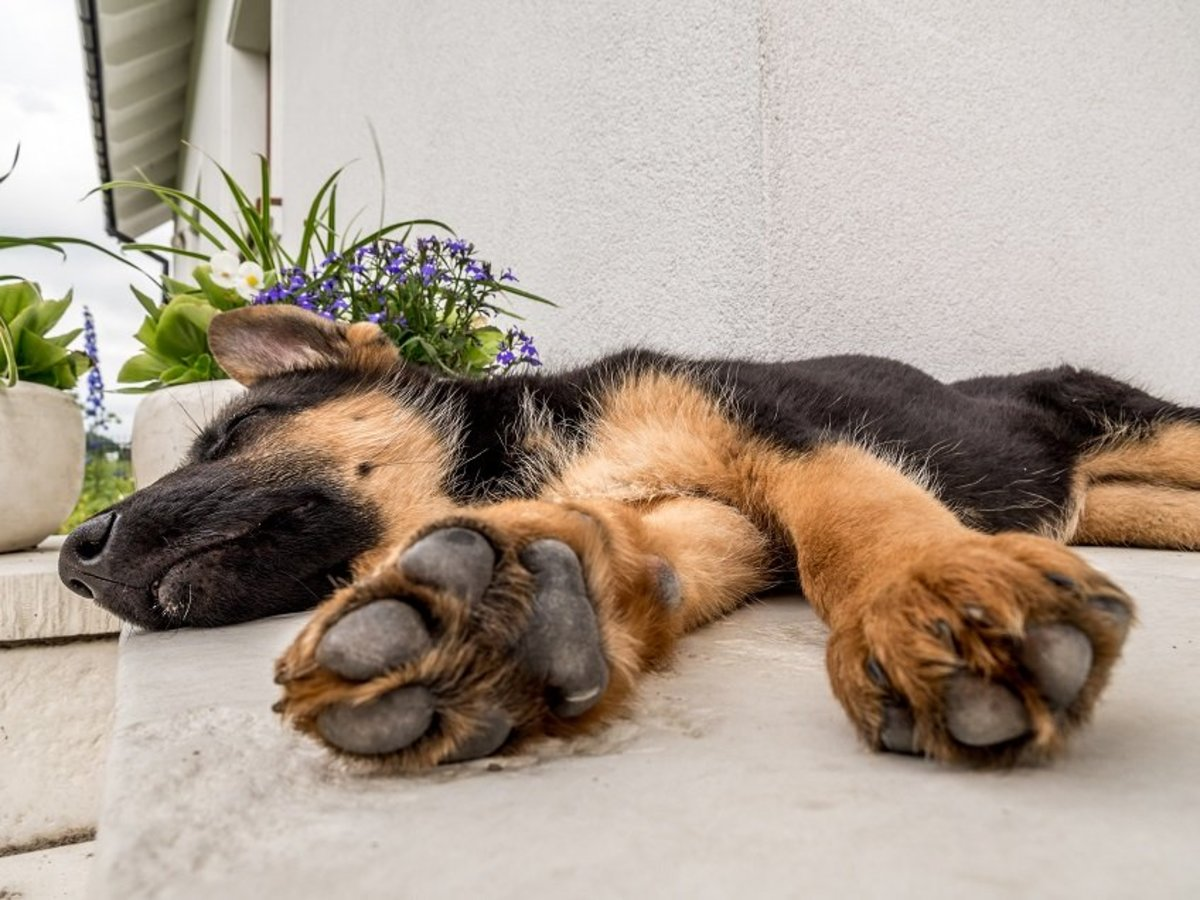 5 Common German Shepherd Stomach Problems