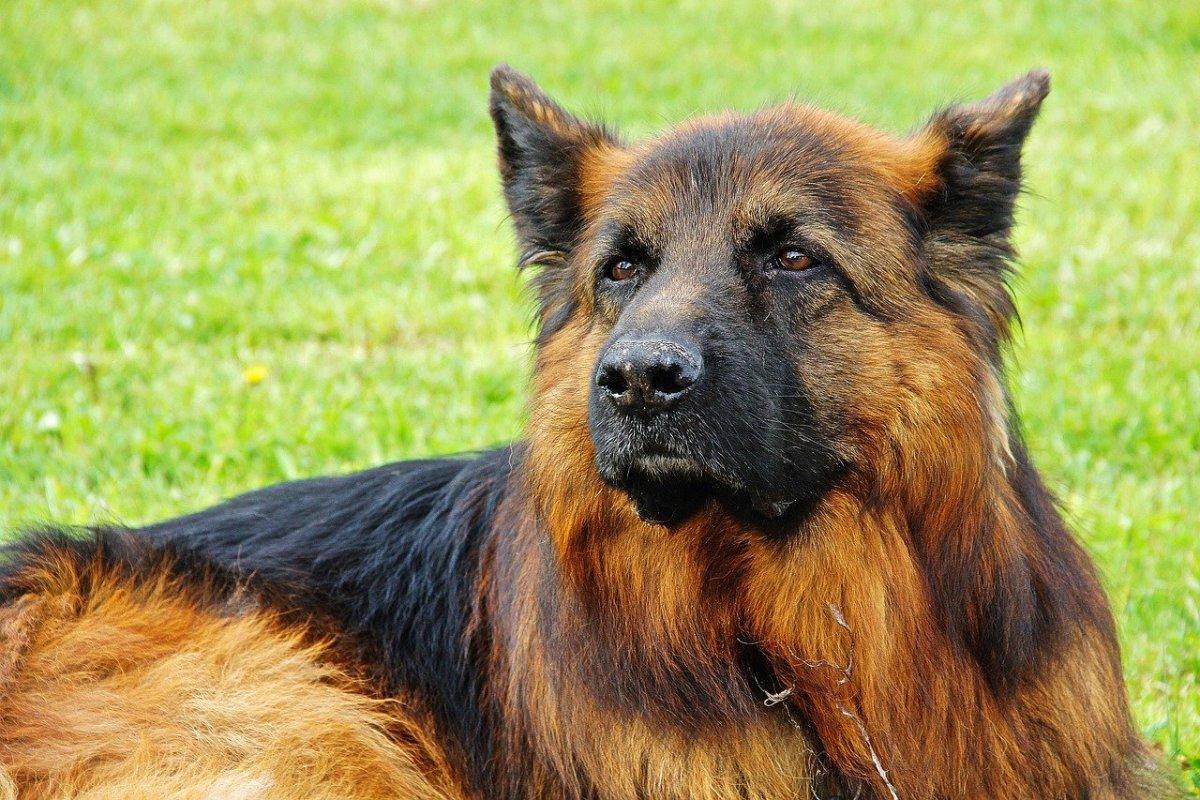German Shepherd Breed Target Height and Weight