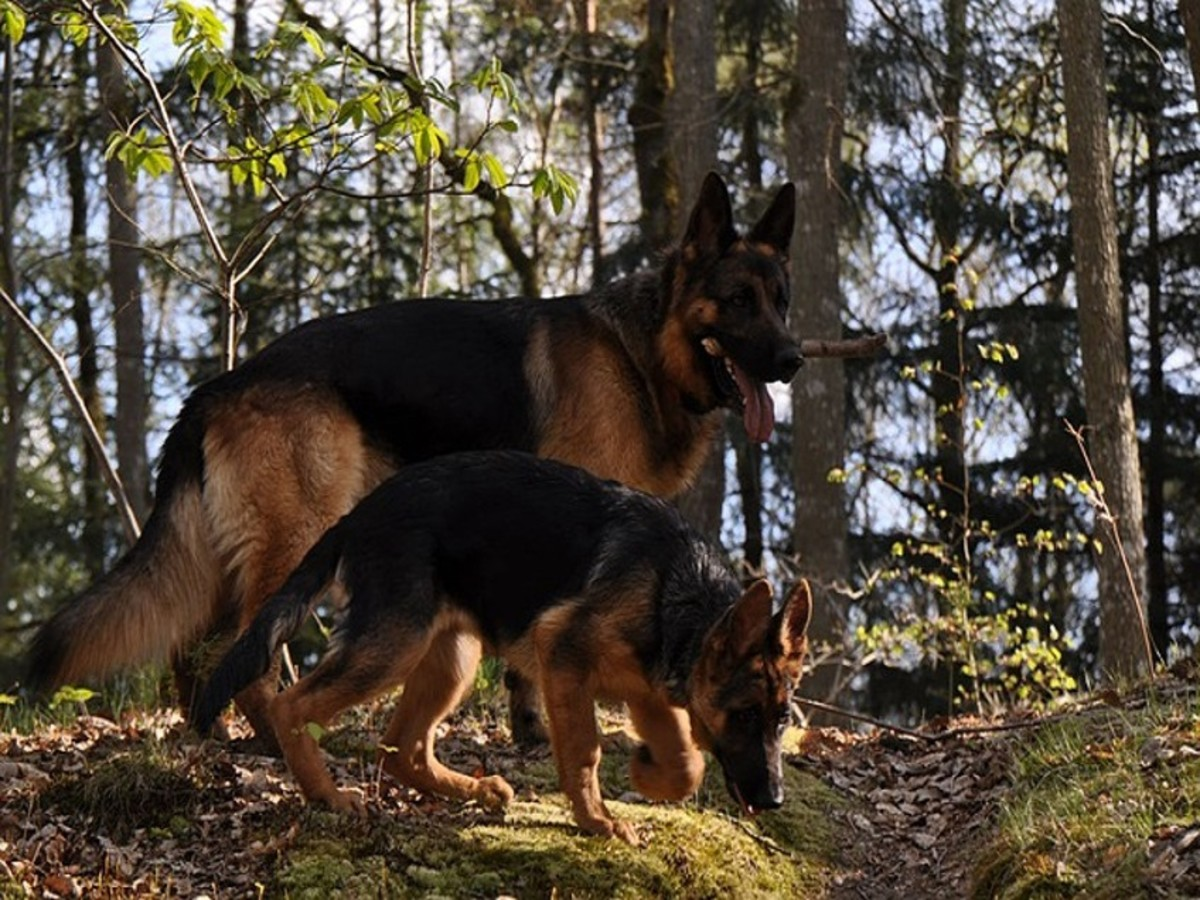 8 Different German Shepherd Coat Color Patterns
