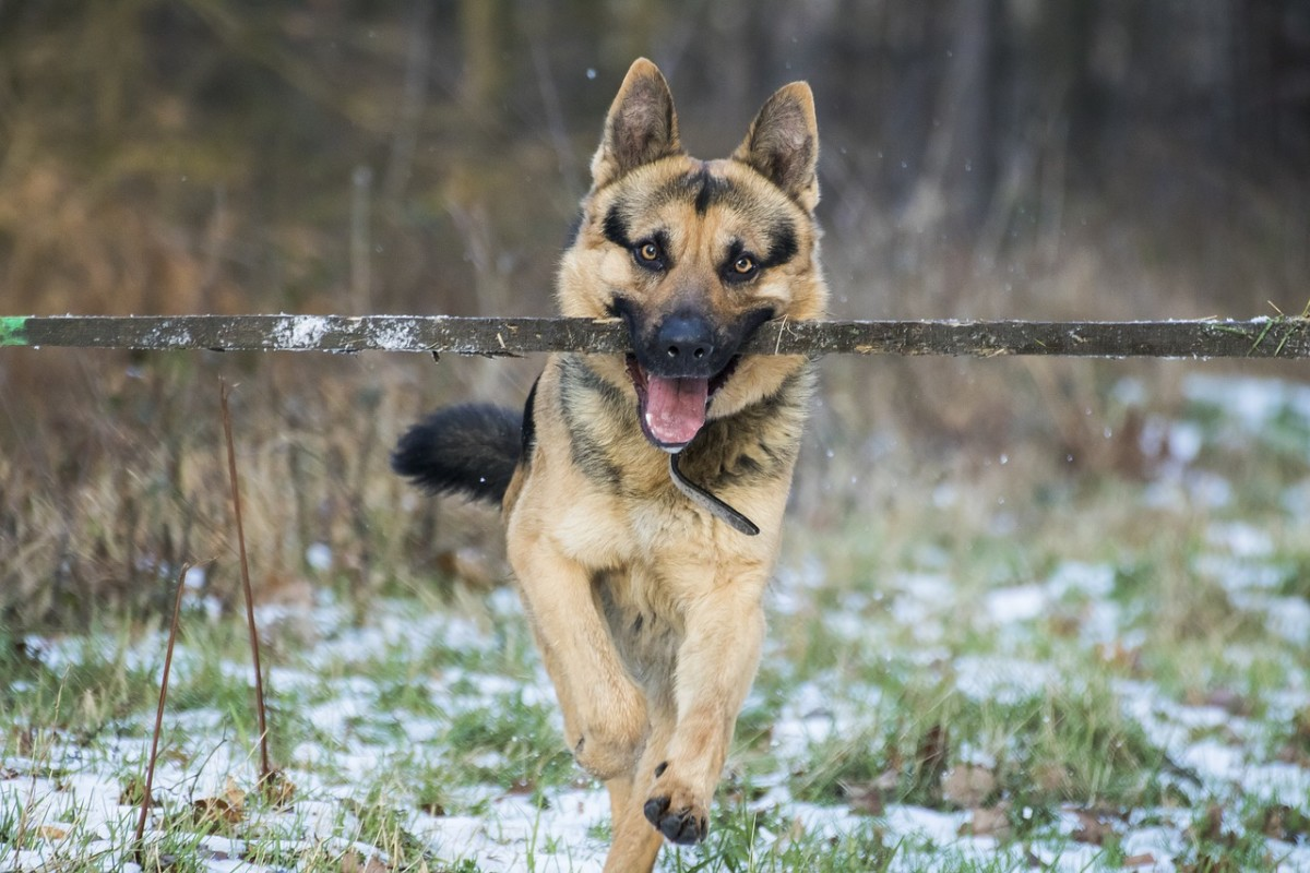 How to Check for Ticks on German Shepherd Dogs