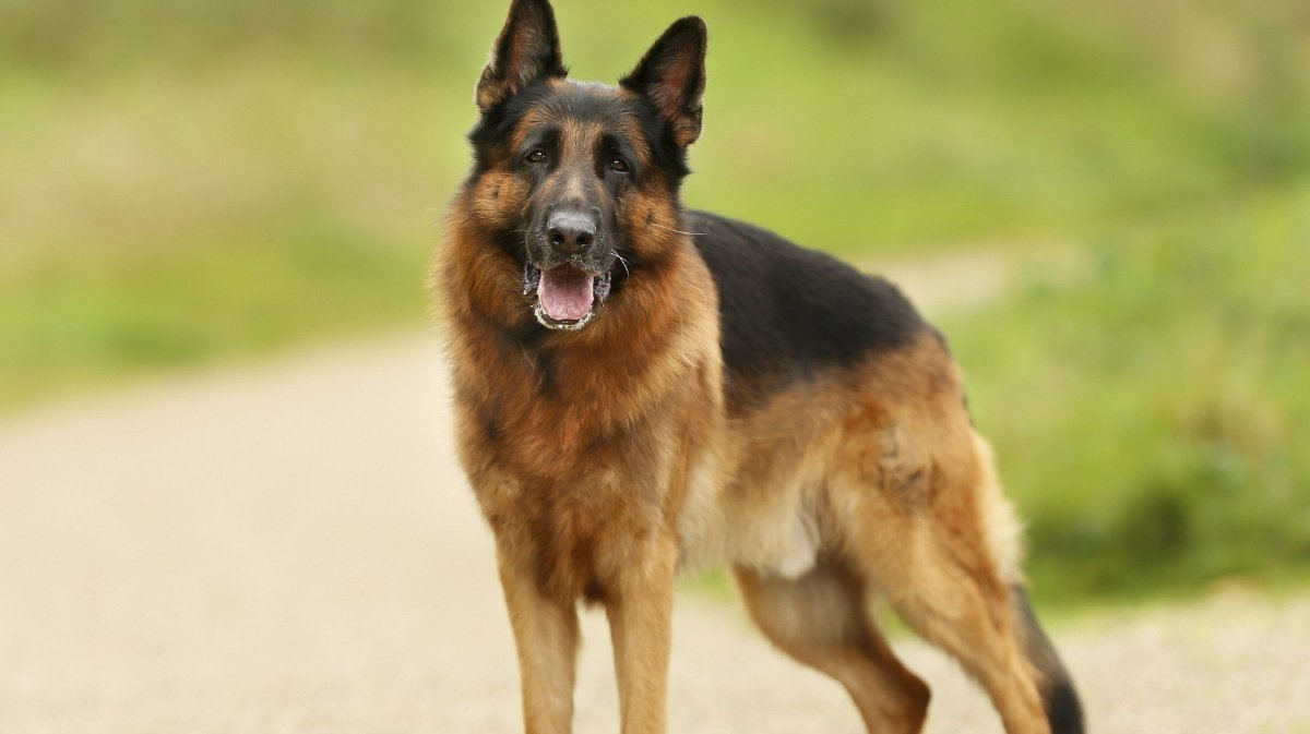 Over a Century of German Shepherd History