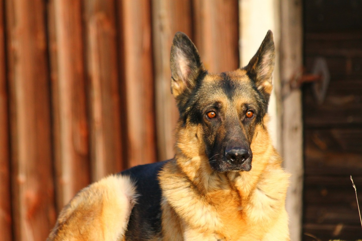 Hip Dysplasia in German Shepherds