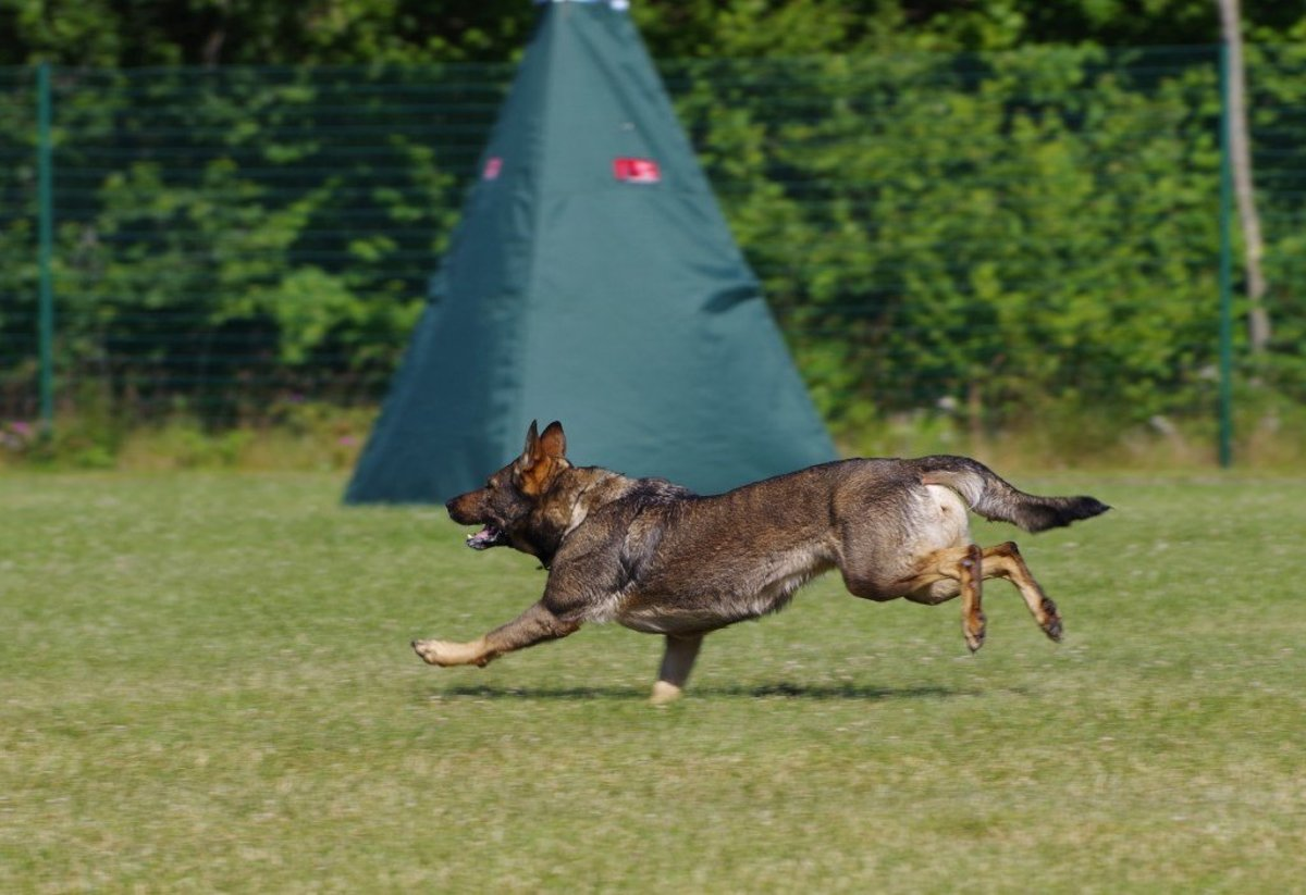 Schutzhund Training for German Shepherds