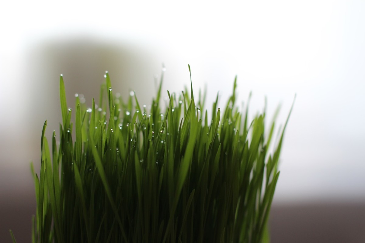 What Are the Health Benefits of Wheatgrass?