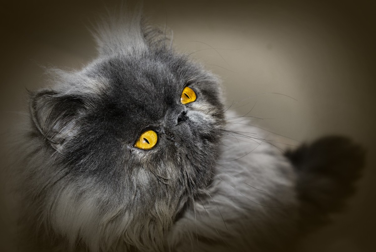 The Old Persian Cat Species