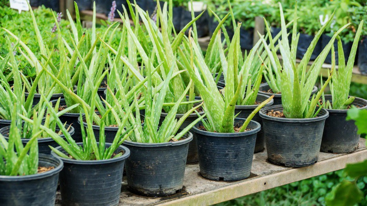 How to Harvest Aloe Vera Gel