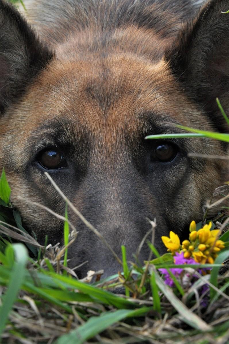 Rescuing a German Shepherd
