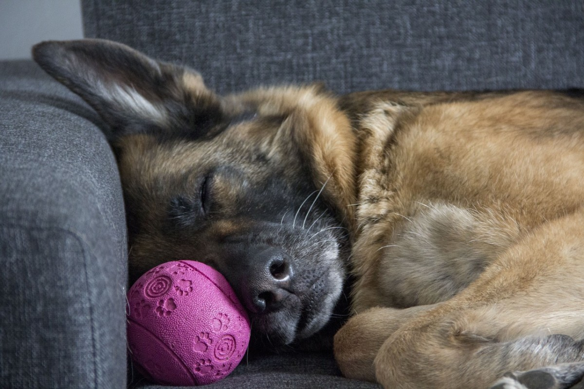 How Long Do German Shepherds Live?