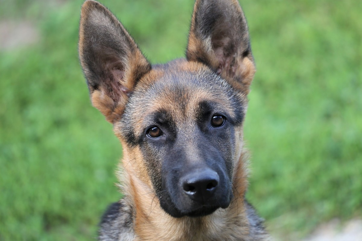 Worms in German Shepherd Dogs