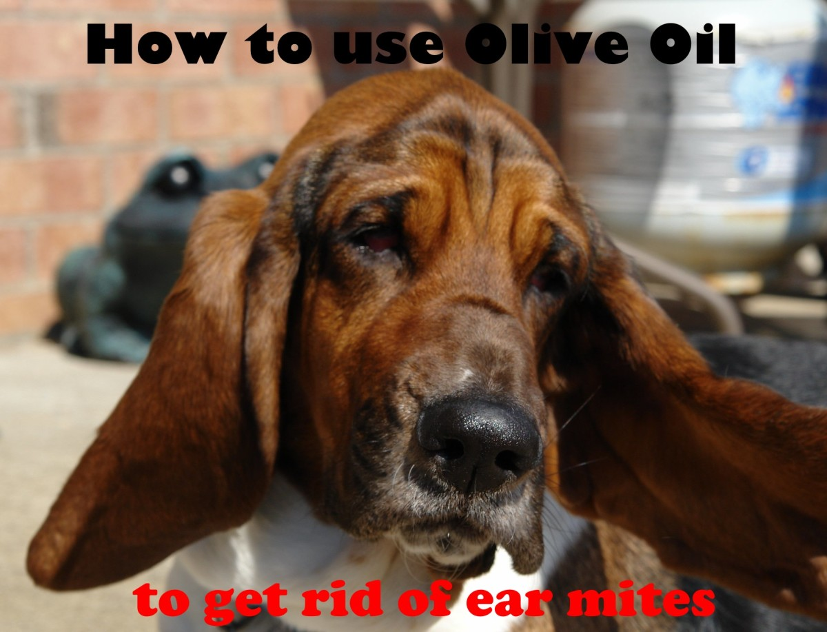 You can use olive oil to kill your dog´s ear mites.