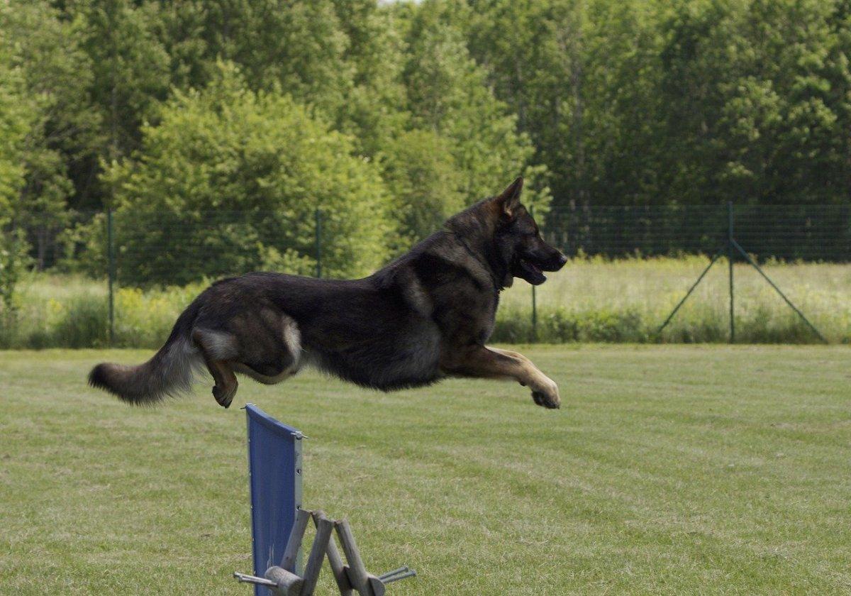 East German Shepherd Dogs