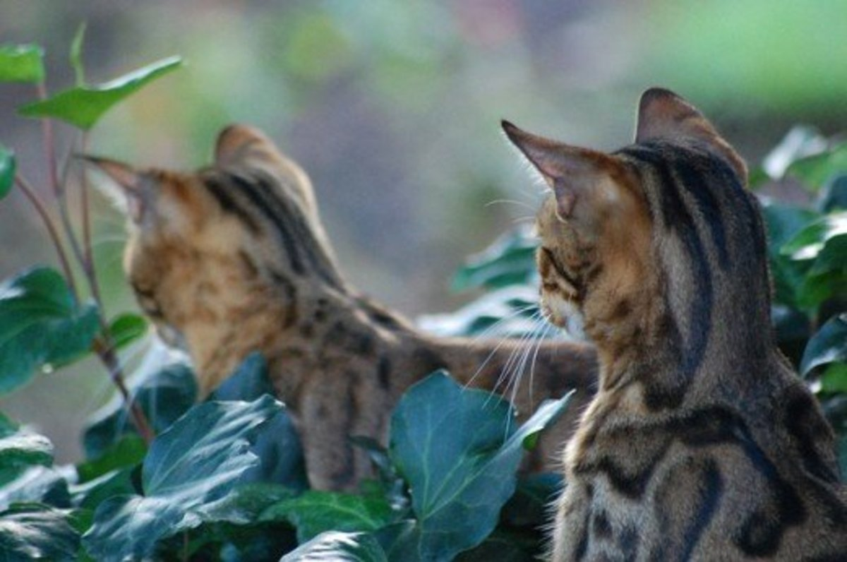 The Wildly Energetic Bengal Cat