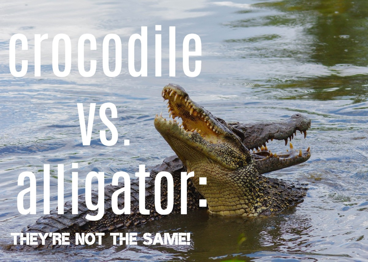 Read on to find out the main differences between crocodiles and alligators.