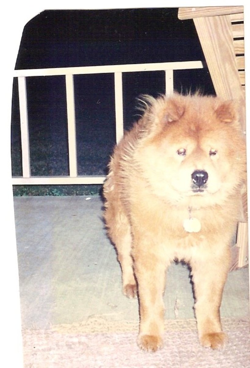 The Chow Chow; a Wonderful and Loyal Breed Of Dog.