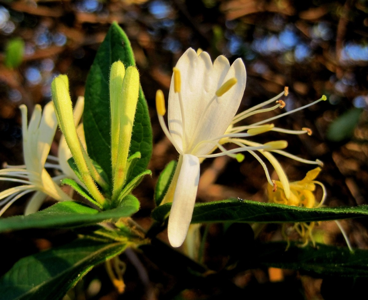 Honeysuckle: Traditional Remedy for Colds and Flu