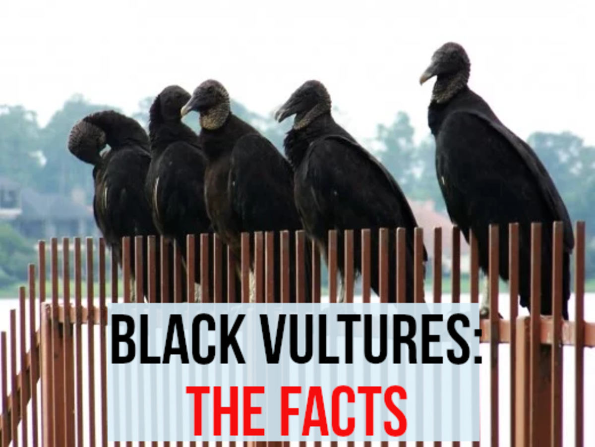Black vultures: the facts. A group of American black vultures perched on railings. These birds are gregarious and love to roost in big groups.  They also love to feed as a group and will try to drive away more solitary animals, such as turkey vulture