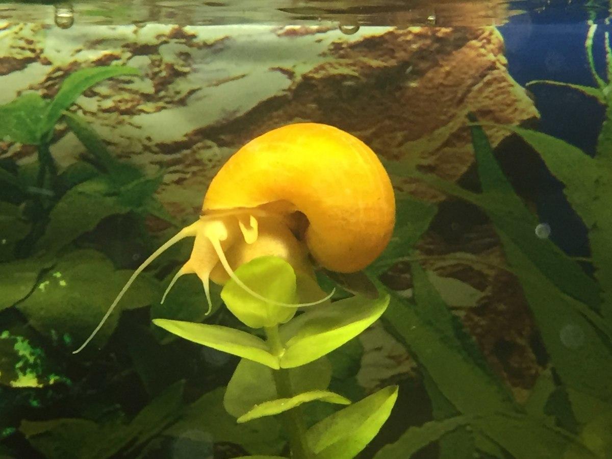 An apple snail in a freshwater tank