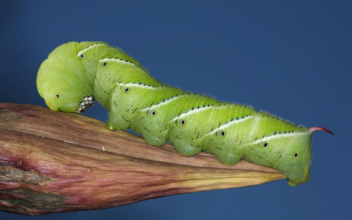 Identifying the Caterpillars Eating Your Tomatoes