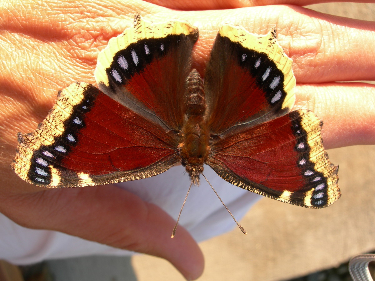 The Lifecycle of the Mourning Cloak Caterpillar to a Butterfly