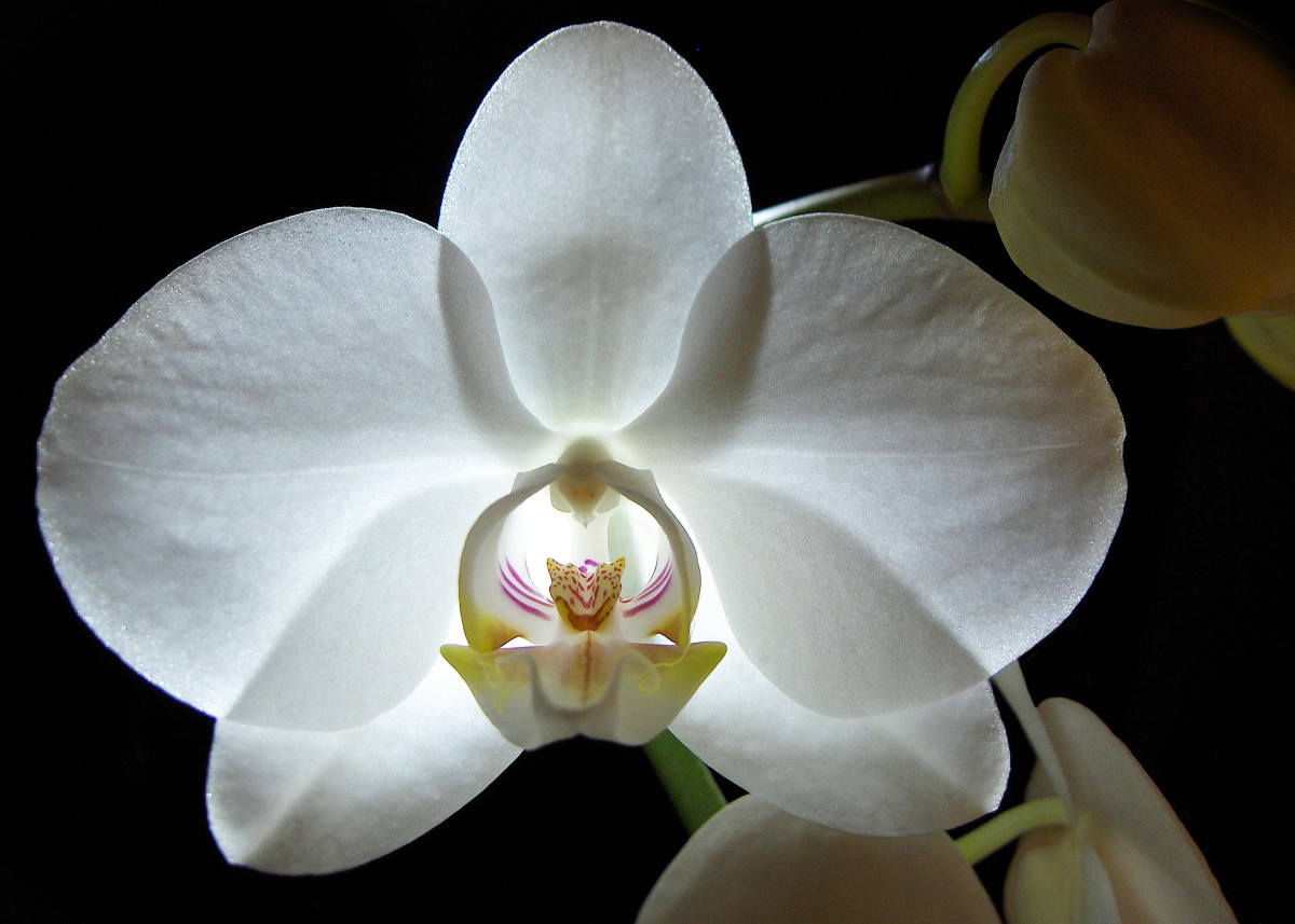 An Orchid is like a Woman