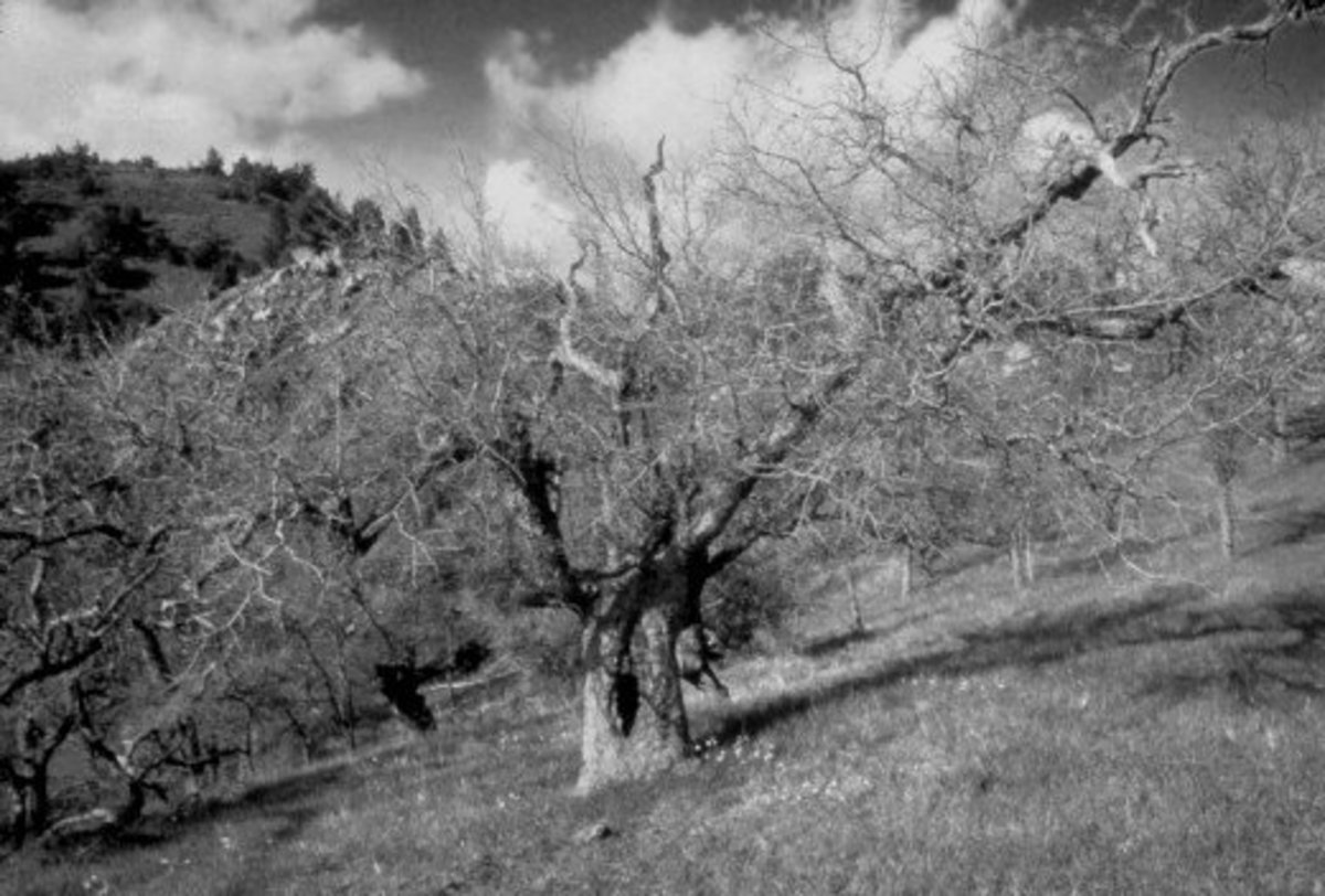 a wind-stripped tree - Santa Ynez Valley, CA