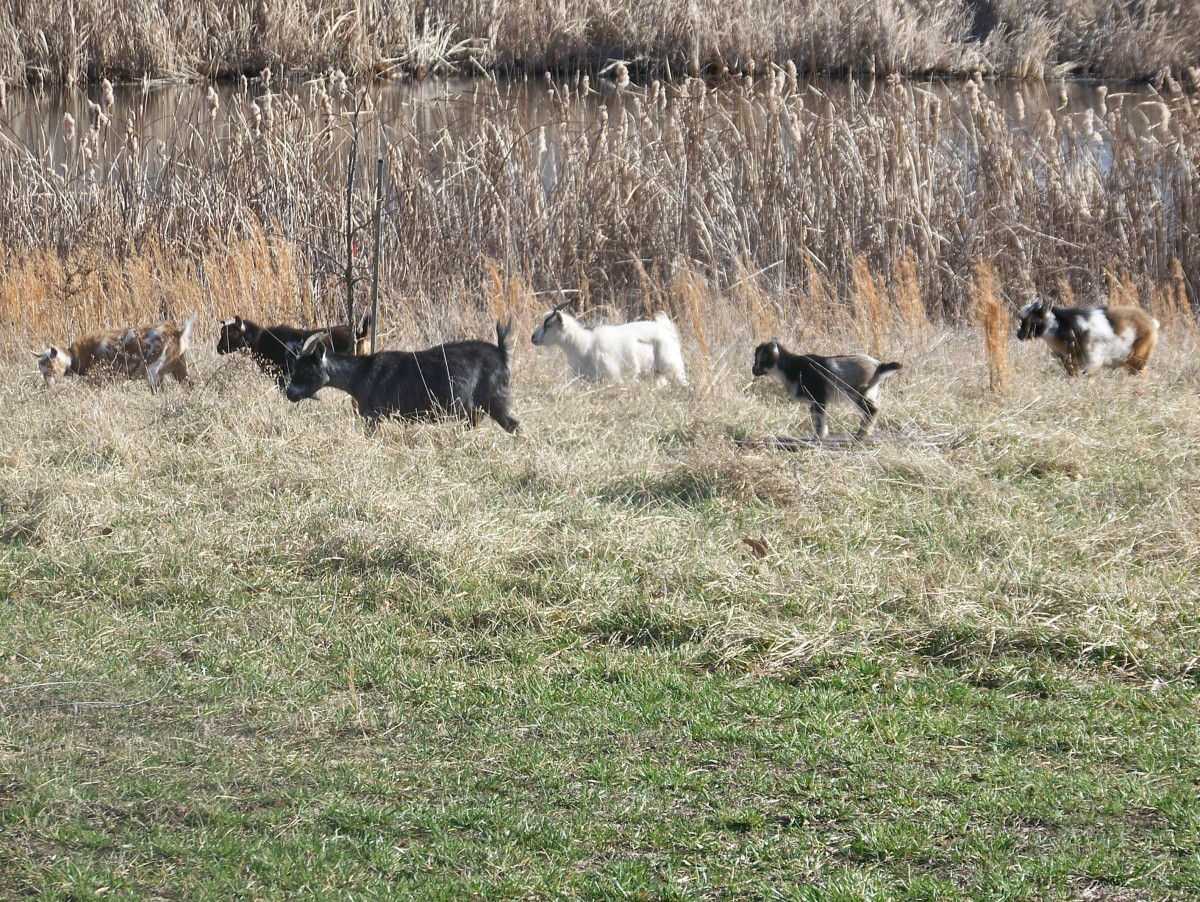 Nigerian Dwarf Goat Herd--Minnie Jewel Farm, Photo:  S. Thorn, Mar 2011