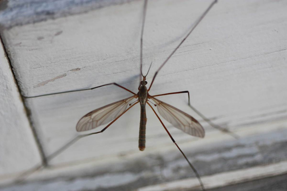 """The crane fly from the insect family Tipulidacea is often referred to as """"daddy long legs,""""  a term that can also refer to the common cellar spider and Opiliones """"harvestmen"""""""