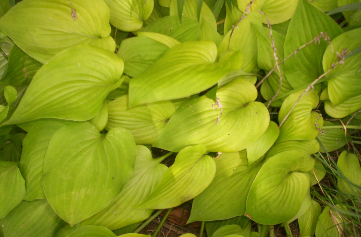 How to Plant and Grow Hostas