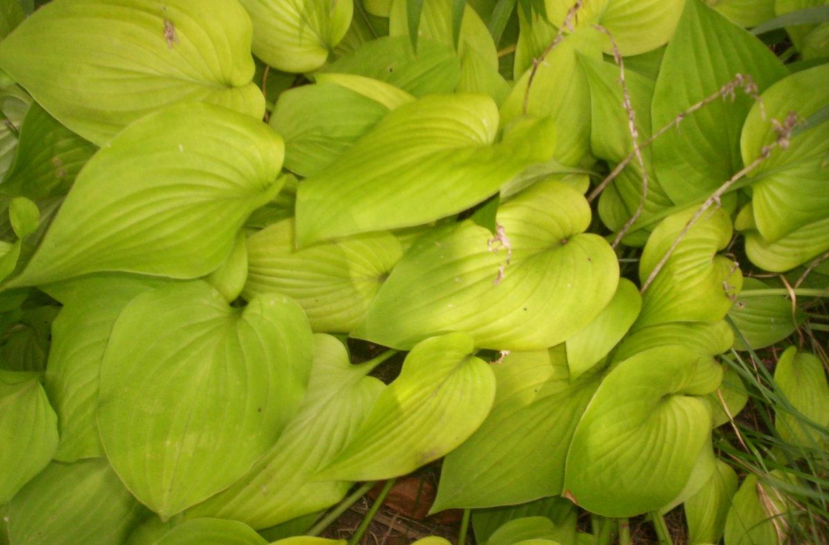 hosta-gardening