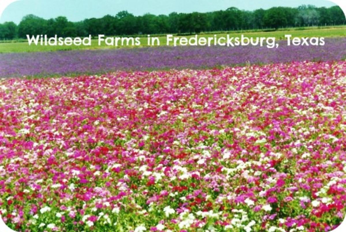Wildseed Farms: Fields of Wildflowers in Fredericksburg, Texas