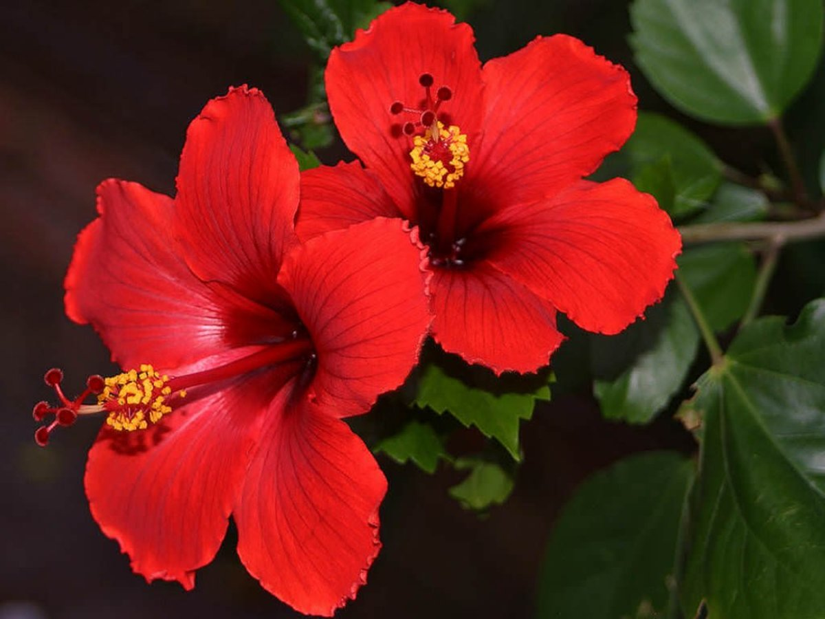 Hibiscus rosa-sinensis. This red variety is extremely heat tolerant.