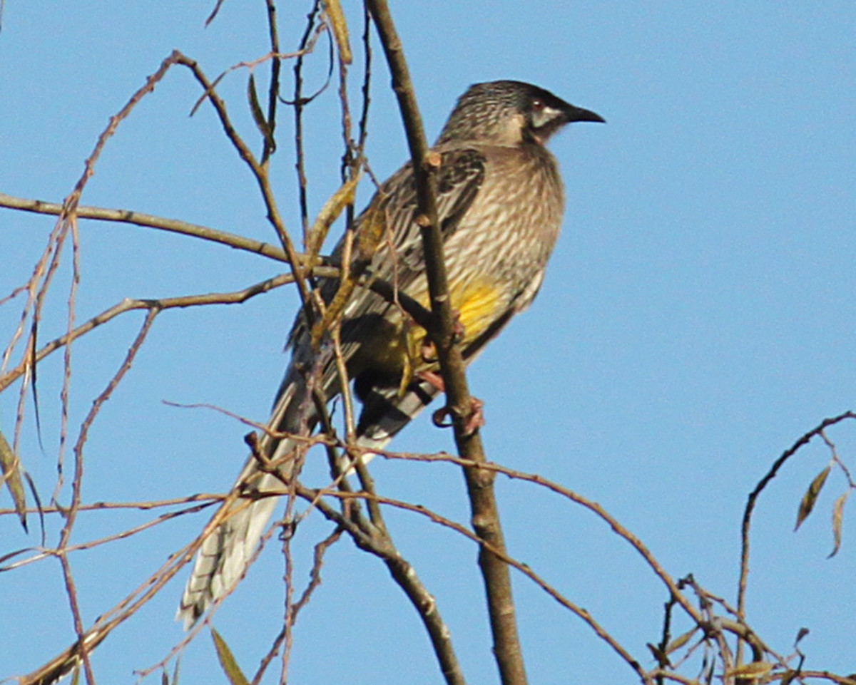 Red Wattle Bird enjoying the sun.
