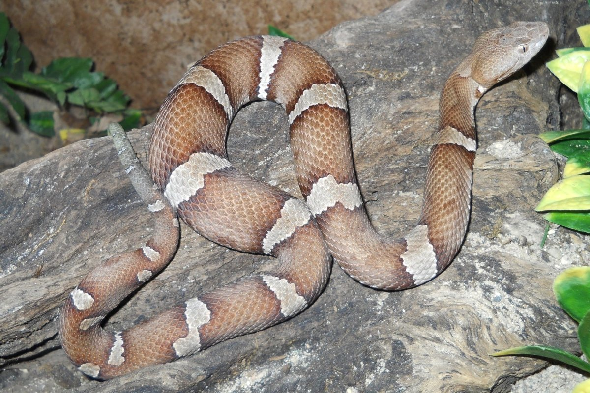 A Trans-Pecos copperhead