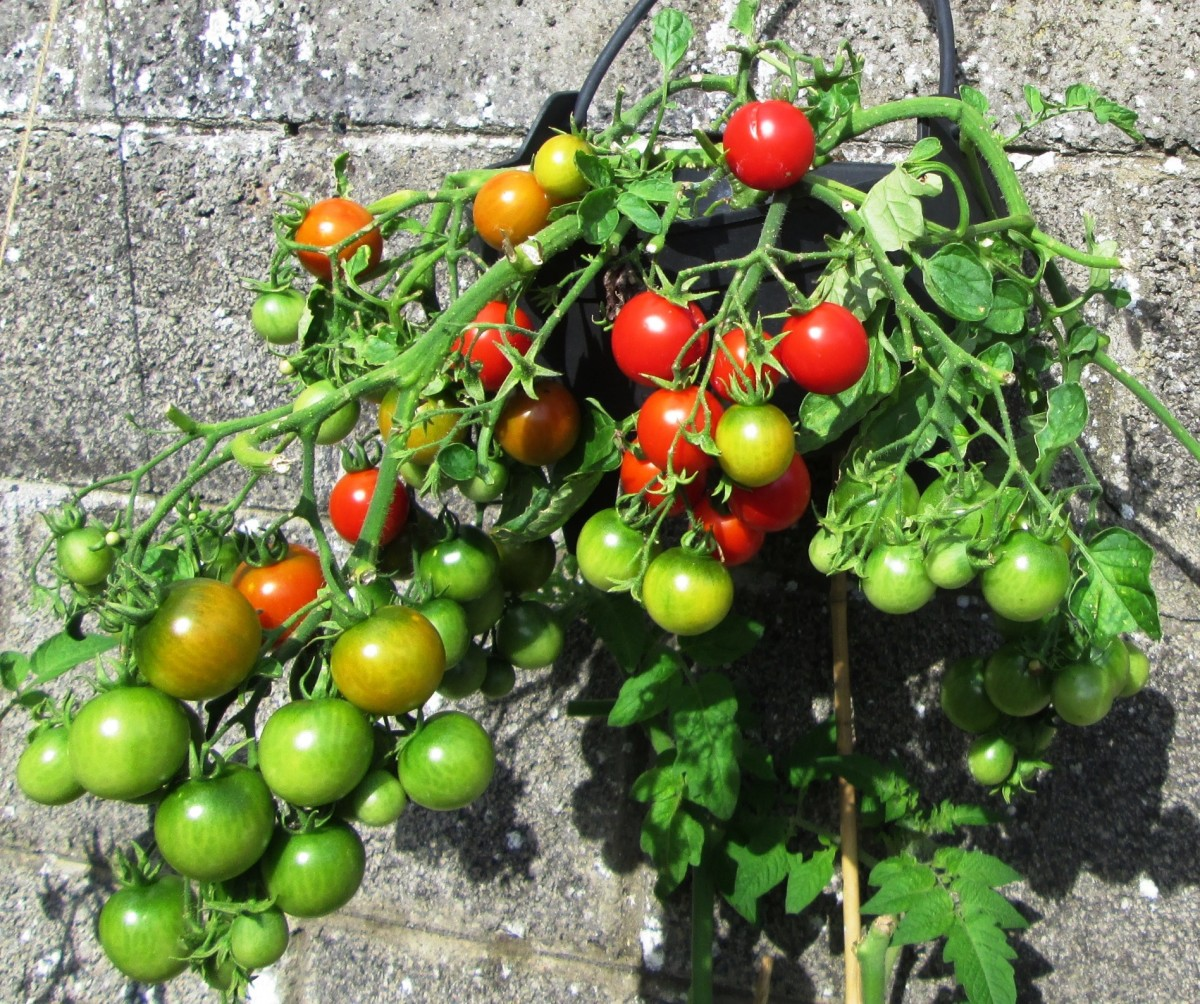 How to grow tomatoes in hanging baskets in a small garden