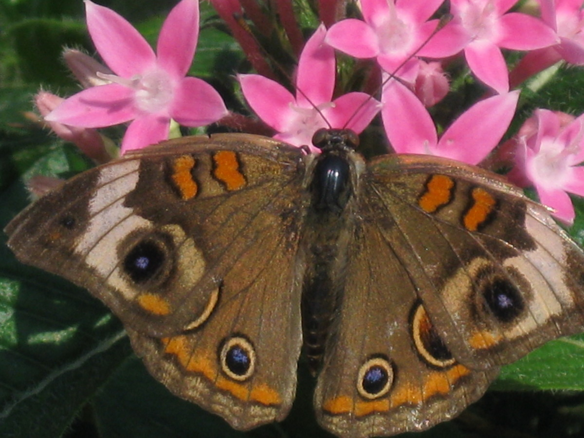 "The Common Buckeye butterfly is easily identified by the circular ""eye"" markings across its wings. Buckeye butterflies are members of the Brushfoot family."