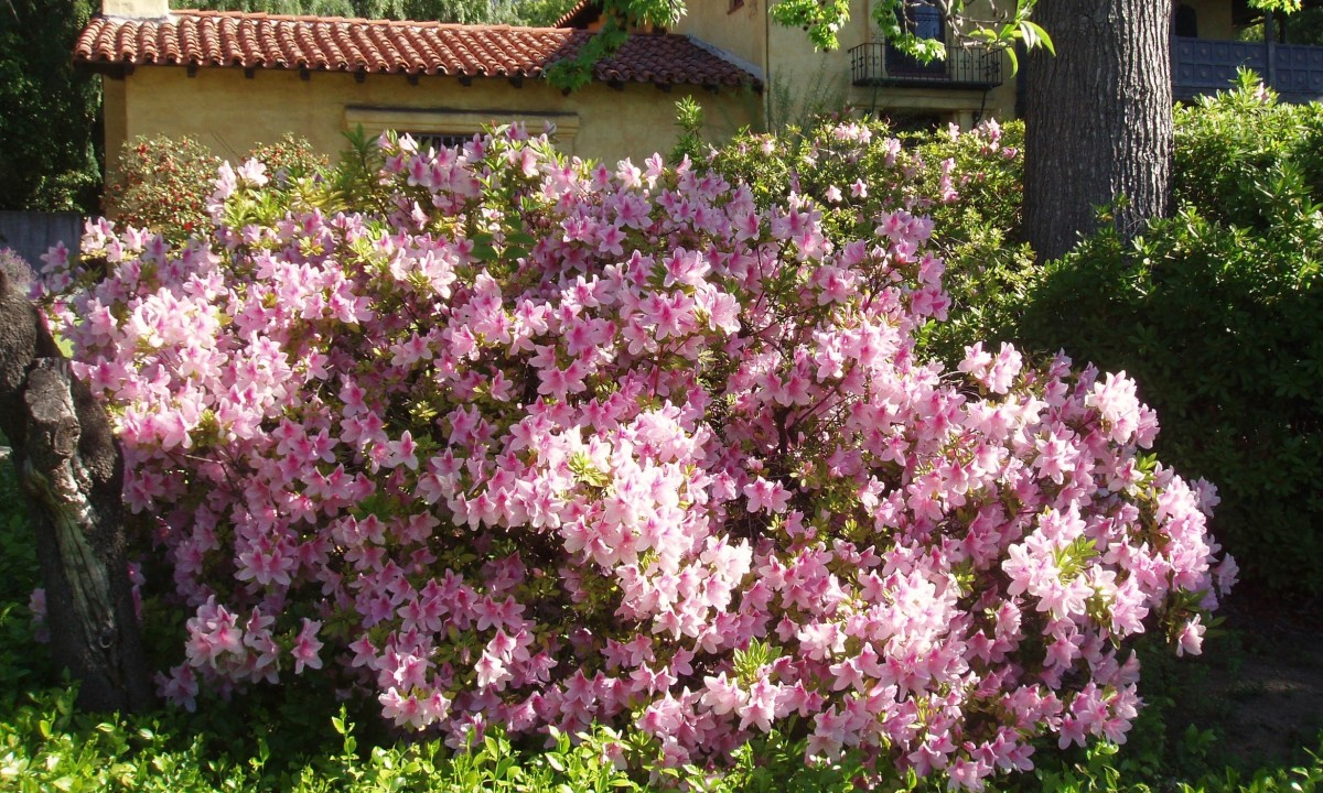 Azaleas (related to Rhododendrons) are native to many continents, including North America, BUT . . . azaleas need shade and moist air to thrive. Southwestern United States has little of either, so azaleas planted there would need extra attention.