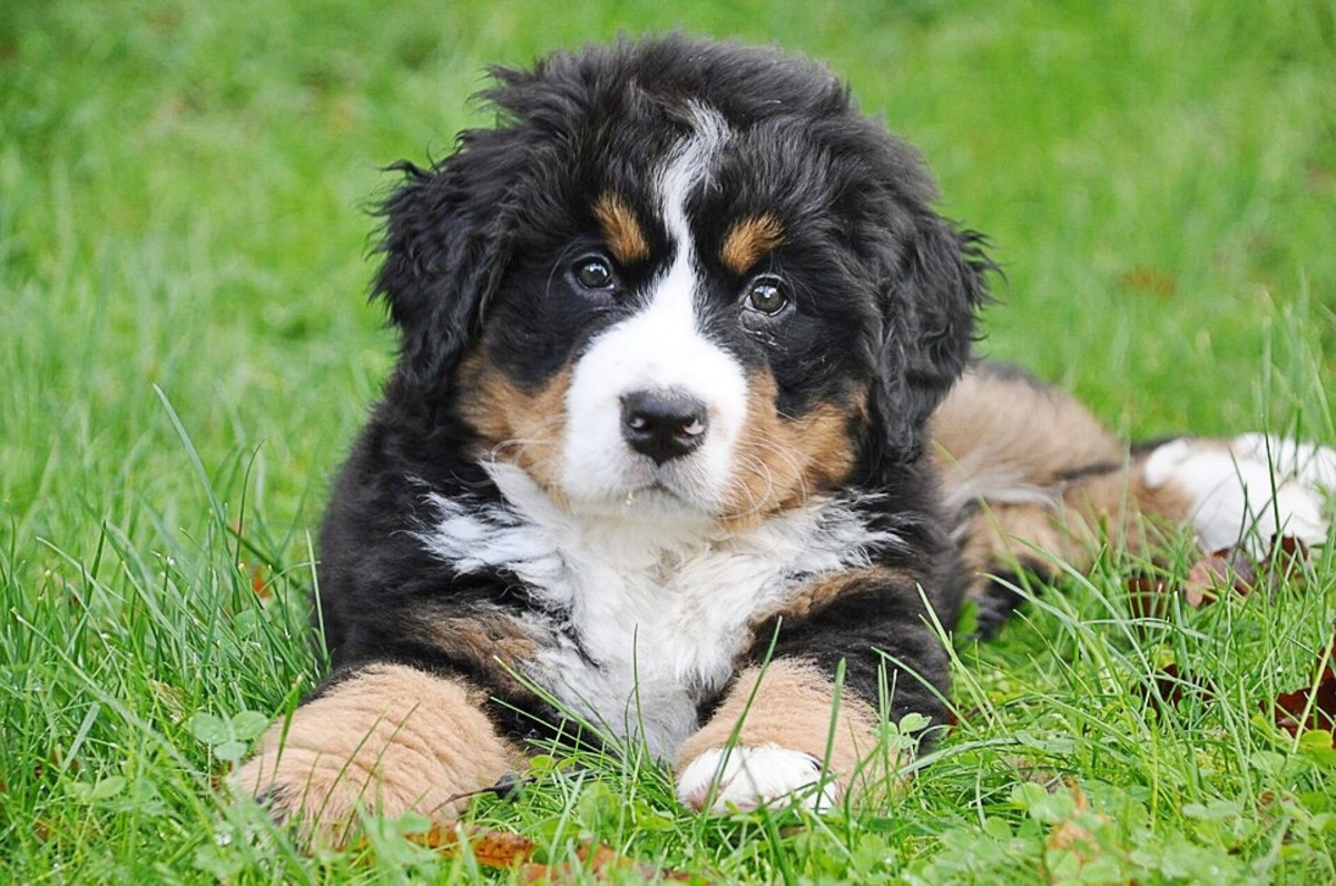 A young Bernese mountain dog