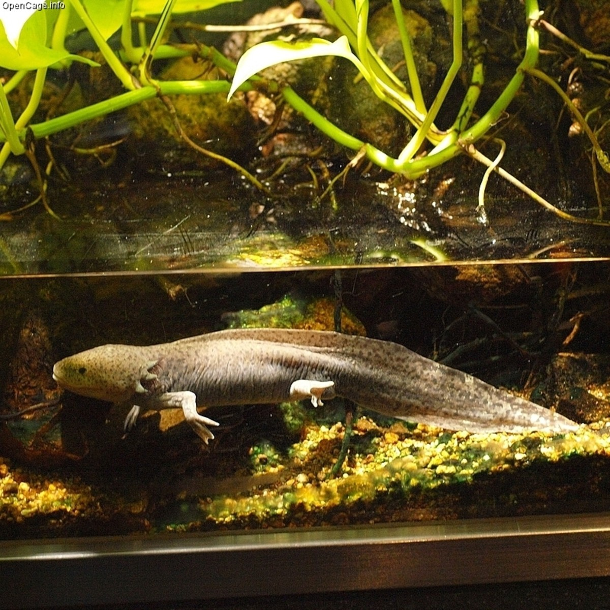Most axolotls come in shades of brown, gray, and black.
