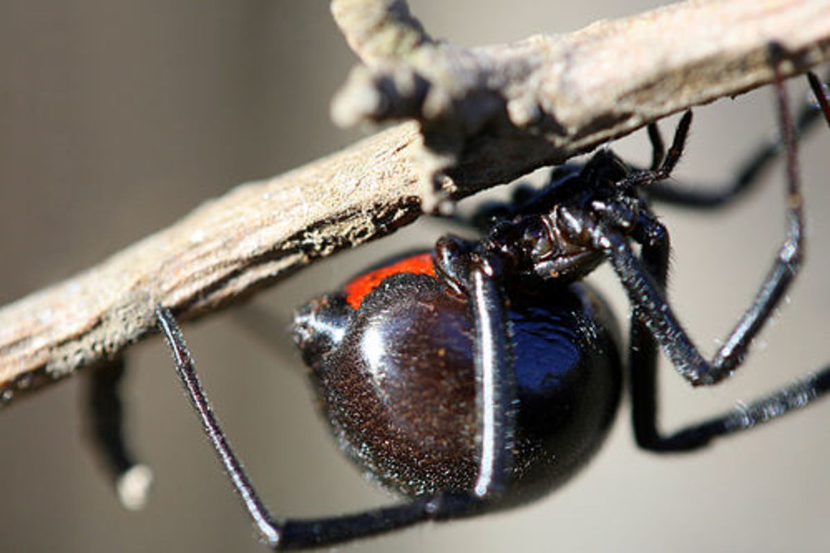 The Black Widow Spider--The Cold Hard Facts