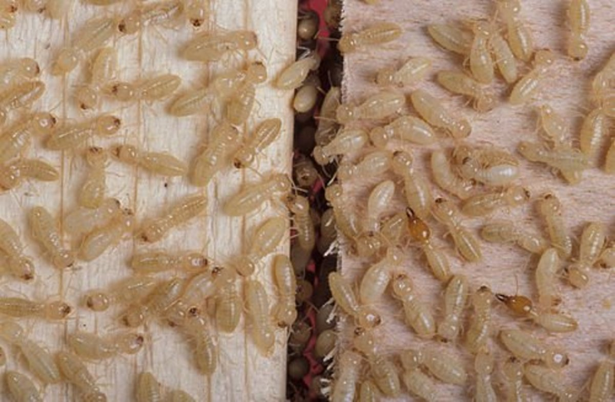 So You Think You Have Termites: How To Tell For Sure.