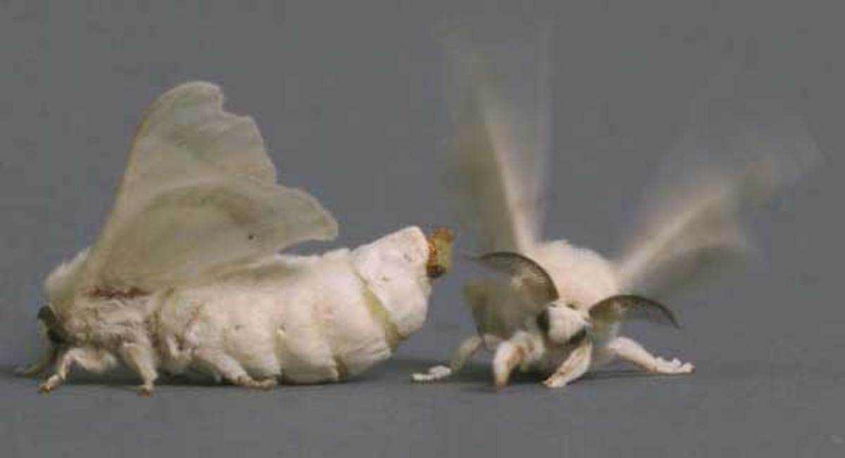 Silkworm moth mating behavior: male does his flutter dance in response to release of female pheromone.
