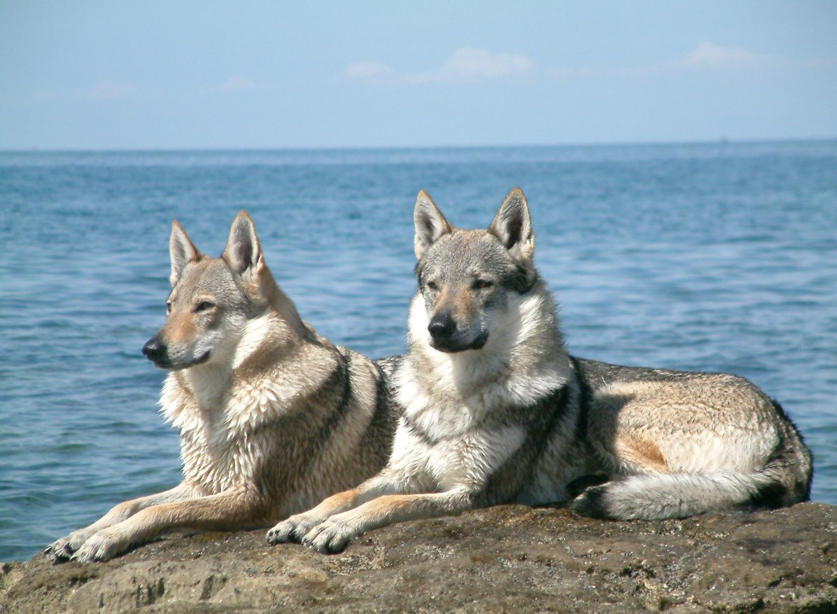 Wolfdogs: The Hybrid Some State Laws Restrict