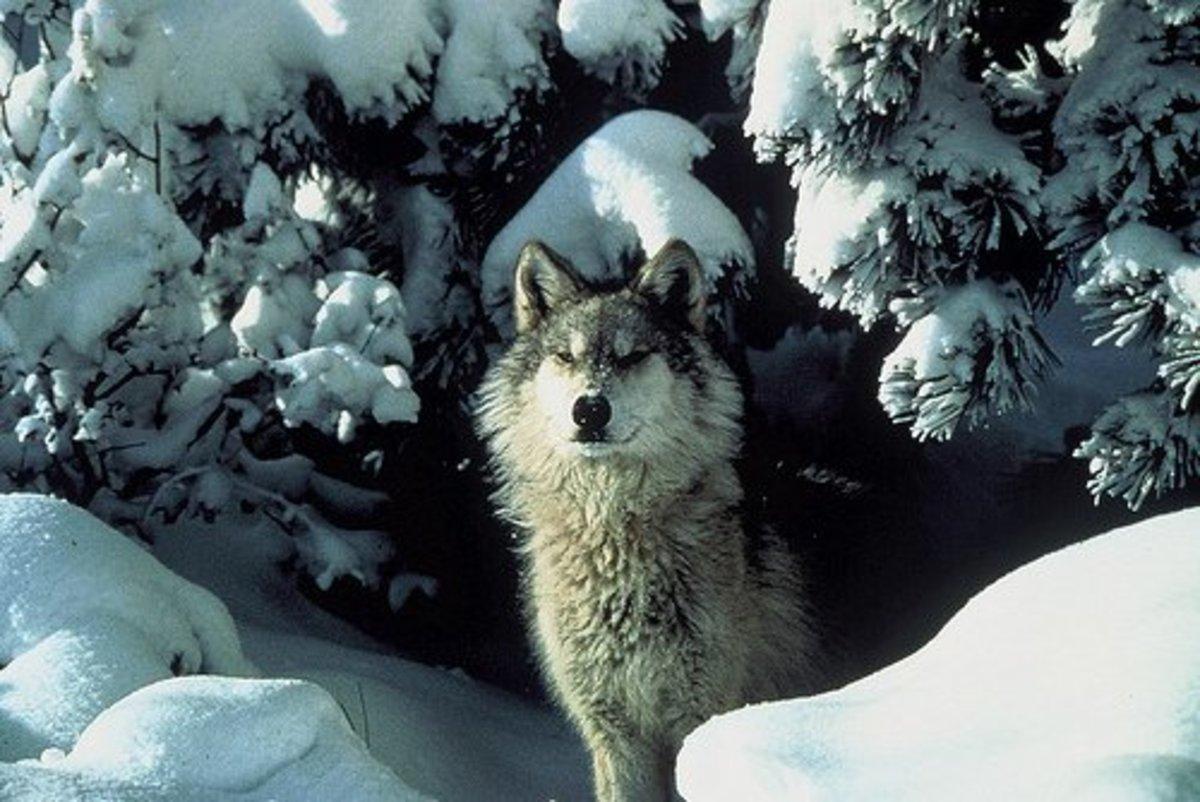 Alpha Grey Wolf