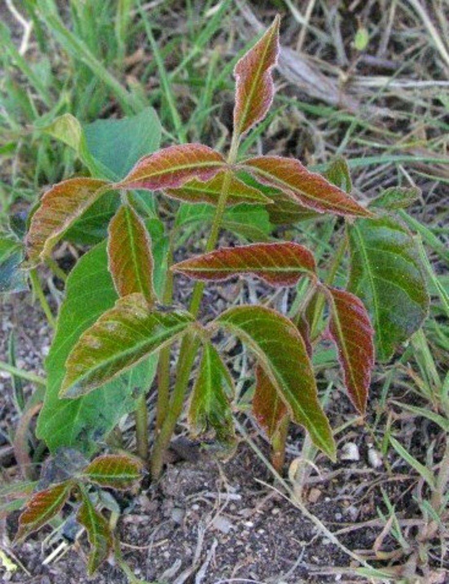 Identifying and Eradicating Poison Ivy