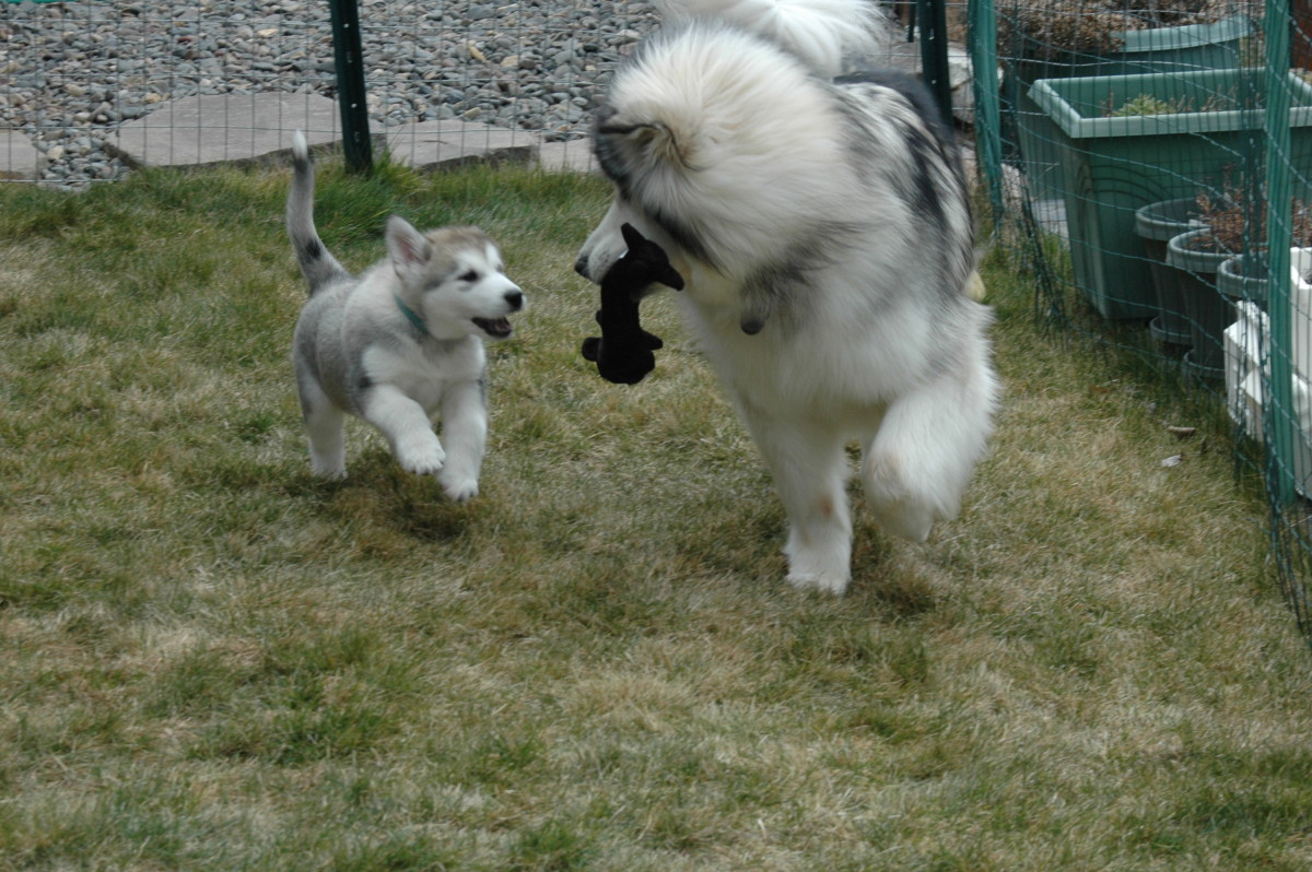 Tips On Bringing Home A Malamute Puppy